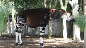 Okapi, el mamífero africano mitad cebra mitad jirafa - Hogarmania