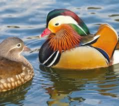 Pato Mandarin y otros Patos en Venta   Finca Casarejo