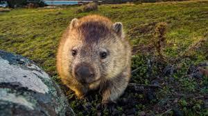 Los wombats han alojado animales en sus madrigueras en Australia ...