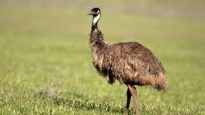 Beneficios del aceite de emú - Hogarmania
