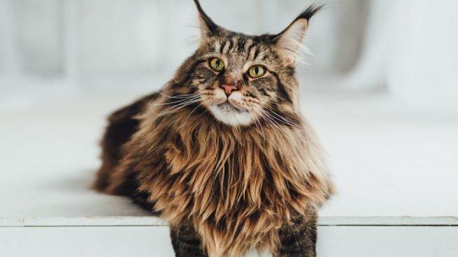 lo-que-necesitas-saber-sobre-la-raza-de-gatos-maine-coon-655x368.jpg